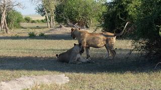ようやく見れたライオン